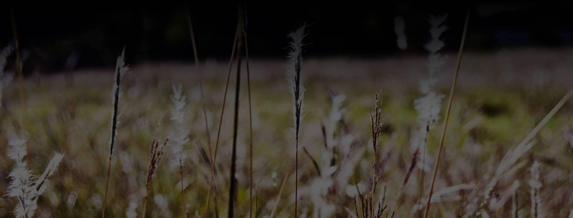 Cedar Park Nissan field of wild grass