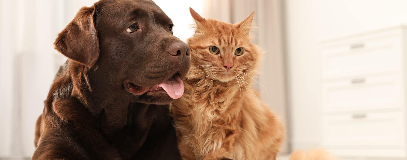 A large brown dog and an orange cat are sitting in their new home in Waco, TX.