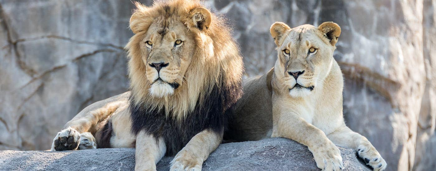 A male and female lion are shown sitting on a rock in a Cincinnati zoo.