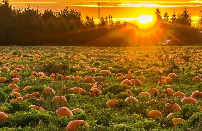 pumpkin_patch_at_sunrise_b